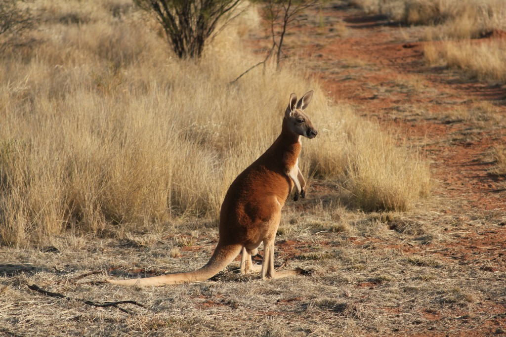 Kangoeroe-farm bij Alice Springs.